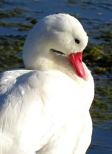 "Coscoroba Swan <div id=""caption_tourlink"" align=""right""> [photo © guide Dave Stejskal]</div>"