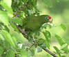 "Tucuman Parrot <div id=""caption_tourlink"" align=""right""> [photo © guide Dave Stejskal]</div>"