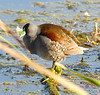 "Spot-flanked Gallinule <div id=""caption_tourlink"" align=""right""> [photo © guide Dave Stejskal]</div>"