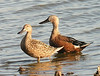 "Red or ""Argentine"" Shovelers <div id=""caption_tourlink"" align=""right""> [photo © guide Dave Stejskal]</div>"