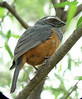 "Rufous-bellied Saltator <div id=""caption_tourlink"" align=""right""> [photo © guide Dave Stejskal]</div>"
