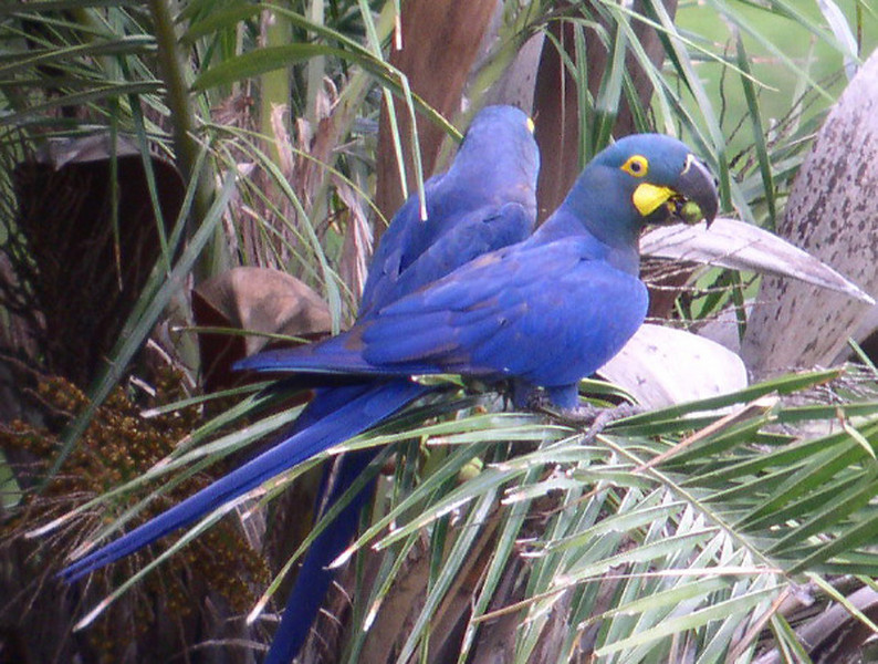 """Lear's Macaws <div id=""""caption_tourlink"""" align=""""right""""> [photo © guide Bret Whitney]</div>"""