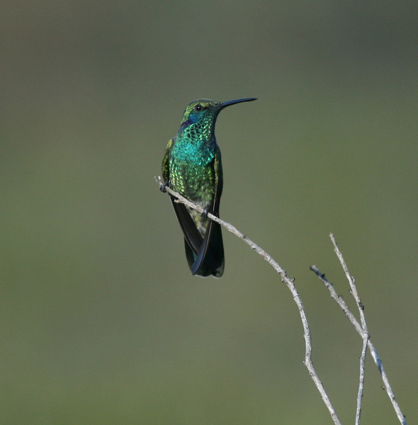 "White-vented Violetear <div id=""caption_tourlink"" align=""right""> [photo © guide Dave Stejskal]</div>"