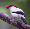"Araripe Manakin <div id=""caption_tourlink"" align=""right""> [photo © guide Bret Whitney]</div>"