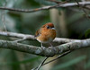 "Rufous Gnateater, lencois <div id=""caption_tourlink"" align=""right""> [photo © guide Dave Stejskal]</div>"