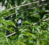 "Silvery-cheeked Antshrike <div id=""caption_tourlink"" align=""right""> [photo © guide Dave Stejskal]</div>"