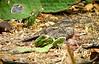 "Pygmy Nightjar <div id=""caption_tourlink"" align=""right""> [photo © guide Bret Whitney]</div>"