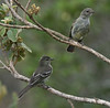 "Highland Elaenia <div id=""caption_tourlink"" align=""right""> [photo © guide Dave Stejskal]</div>"