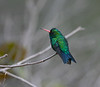 "Glittering-bellied Emerald <div id=""caption_tourlink"" align=""right""> [photo © guide Dave Stejskal]</div>"