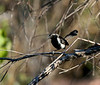 "Sincora Antwren, male <div id=""caption_tourlink"" align=""right""> [photo © guide Dave Stejskal]</div>"