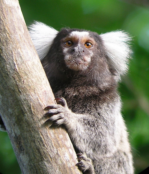 "Tufted-ear Marmoset <div id=""caption_tourlink"" align=""right""> [photo © guide Bret Whitney]</div>"