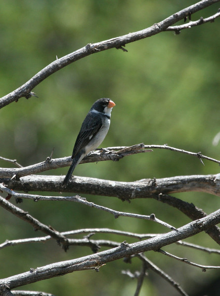 "White-throated Seedeater <div id=""caption_tourlink"" align=""right""> [photo © guide Dave Stejskal]</div>"