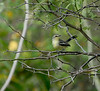 """Greater Wagtail-Tyrant.<div id=""""caption_tourlink"""" align=""""right""""> [photo © guide Dave Stejskal]</div>"""