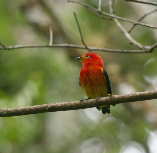 """Band-tailed Manakin <div id=""""caption_tourlink"""" align=""""right""""> [photo © guide Dave Stejskal]</div>"""