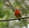 "Band-tailed Manakin <div id=""caption_tourlink"" align=""right""> [photo © guide Dave Stejskal]</div>"