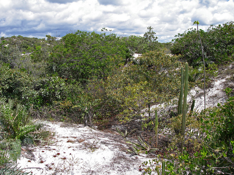 """Restinga"", an old-growth habitat on ancient, quartzitic dunes of coastal Brazil; this one just north of Salvador.  It is a truly fragile and endangered habitat, where about 45% of plant species are endemic.  It is increasingly threatened by development (housing, malls, resorts, roadways, etc.). <div id=""caption_tourlink"" align=""right""> [photo © guide Bret Whitney]</div>"