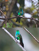 Occurring in mid-elevation forest, lower than most other Eriocnemis pufflegs, the striking Emerald-bellied Puffleg can be readily observed near the feeders at Owlet Lodge--the only place we've ever seen it coming to feeders. (Photos by guide Richard Webster)