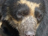 Its mother had been released two years earlier from the rehab pens (where this closeup of a male was taken) and had gone undetected until very recently, when it turned up nearby with a cub. Spectacled Bears are native to the area, but very few have survived the massive habitat destruction in the Andean foothills. (Photo by guide Richard Webster)