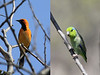 Among the Tumbesian birds we saw at Chaparrí were the handsome White-edged Oriole and the tiny Pacific Parrotlet. (Photos by guide Richard Webster)