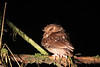 But the foremost highlight of our nocturnal forays at Owlet Lodge was seeing the tiny Long-whiskered Owlet itself! And seeing it so well! It's staggering to remember that this little monotypic owl, discovered to science not far from here in 1976, was still unknown in life until 2002, and even then not refound in the wild until very recently.  We were incredibly lucky. (Photo by guide Richard Webster)