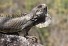 This iguana (Iguana iguana) was displaying in a tree along the trail at Chaparrí. (Photo by guide Richard Webster)