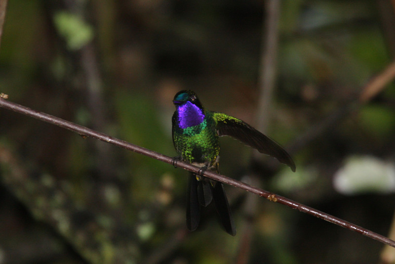 "We'll have the late afternoon to enjoy the numerous hummers, including this Purple-throated Sunangel, buzzing about the garden before closing the day at our charming little hotel in Leimebamba.  <div id=""caption_tourlink"" align=""right""><br>[photo © Richard Webster]</div>"