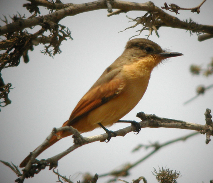 "...Rufous Flycatcher, the most colorful of the Myiarchus flycatchers.<div id=""caption_tourlink"" align=""right""><br>[photo © John Rowlett]</div>"