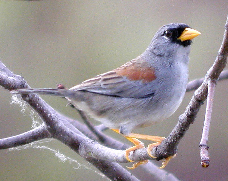 """The Maranon desert is inhabited by three of the five members of the genus <i>Incaspiza</i>, a genus endemic to Peru; we have a very good chance of seeing all three on our tour.  Our first is usually the Little Inca-Finch, which occurs in the lower portions of the arid Maranon Valley. <div id=""""caption_tourlink"""" align=""""right""""><br>[photo © John Rowlett]</div>"""