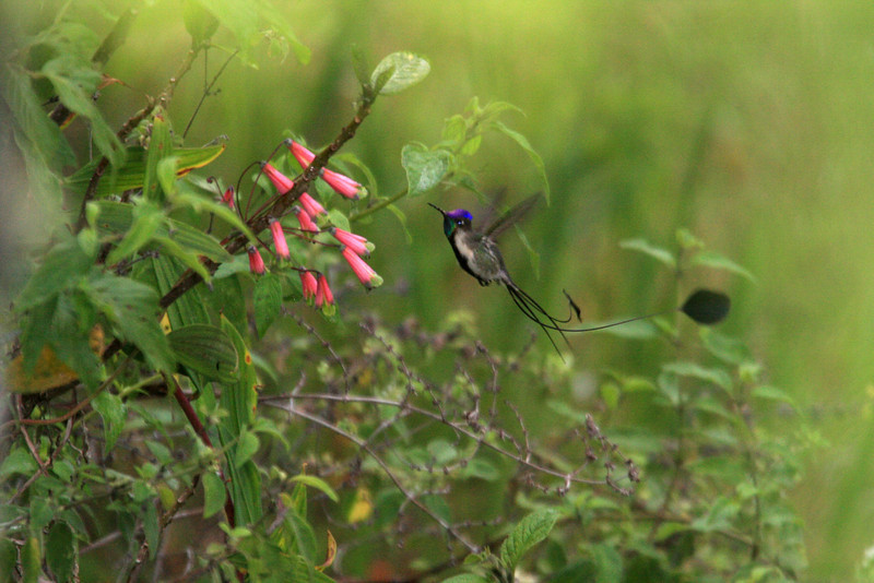 """But when it reflects light at just the right angle, we can see why the adult male Marvelous Spatuletail is often considered the fanciest of all hummers.  <div id=""""caption_tourlink"""" align=""""right""""><br>[photo © Richard Webster]</div>"""