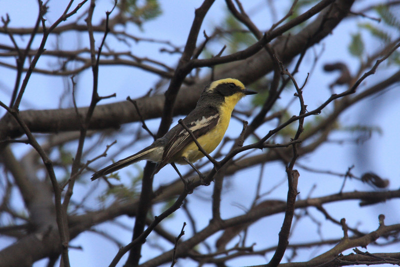 "After seeing the guans, we have the balance of the day to seek Tumbes Hummingbird, Plumbeous-backed Thrush, Black-capped Sparrow, and this pretty Tumbes Tyrant, which, so far, some sharp-eyed birder has always spotted, often inside a thicket.  Not really rare (sometimes we see several), they are skulkers (like many of their relatives, the chat-tyrants) and require some effort.  <div id=""caption_tourlink"" align=""right""><br>[photo © Richard Webster]</div>"