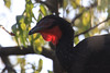 """Among them is the critically endangered White-winged Guan, many of which have been reintroduced here, where they once were common before hunting pressure greatly reduced their numbers. They are currently thriving in the reserve, and some pairs have become quite confiding. <div id=""""caption_tourlink"""" align=""""right""""><br>[photo © Richard Webster]</div>"""