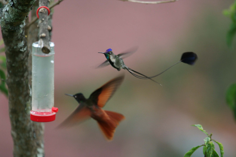"No, we don't have the feeder angle completely worked out yet, but it has worked quite well in recent years. Although spatuletails are often chased from flowers and feeders by other hummingbirds (such as this Rainbow Starfrontlet), they are persistent and usually manage to sneak in somewhere sometime.  <div id=""caption_tourlink"" align=""right""><br>[photo © Richard Webster]</div>"