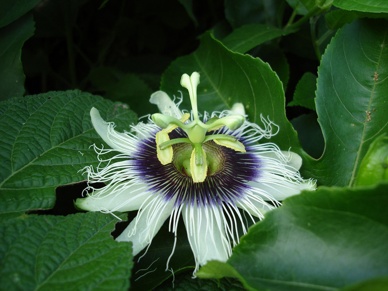 "With the beginning of the rainy season, the Utcubamba canyon should be green and full of wildflowers, like this native passionflower above Pedro Ruiz.  <div id=""caption_tourlink"" align=""right""><br>[photo © Rose Ann Rowlett]</div>"