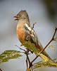 "...the critically endangered Peruvian Plantcutter, which delivers its ratcheting song from the taller trees here, and...<div id=""caption_tourlink"" align=""right""><br>[photo © John Rowlett]</div>"