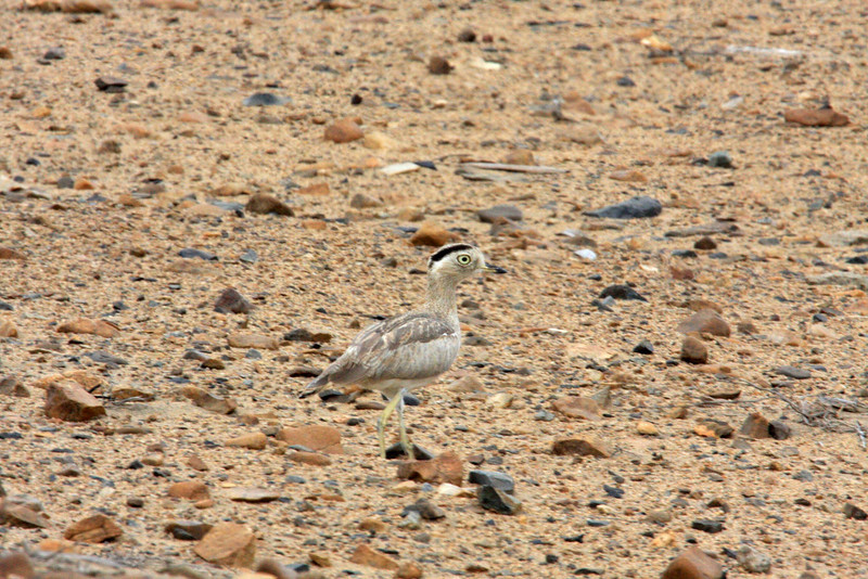 "After an early flight from Lima to Chiclayo, we head south through the coastal desert, watching for such well camouflaged inhabitants as Coastal Miner and this Peruvian Thick-knee. <div id=""caption_tourlink"" align=""right""><br>[photo © Richard Webster]</div>"