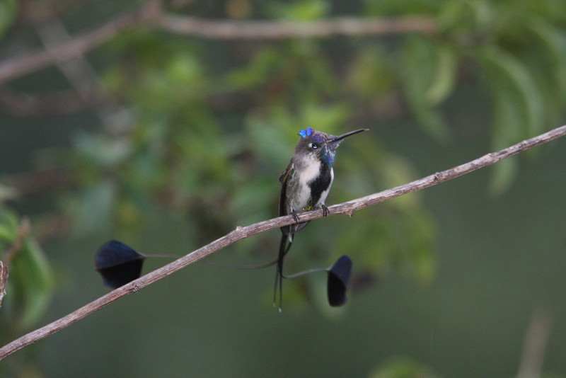 "A second adult male spatuletail, distinguished by its molting head and throat feathers, rests on an exposed branch near the feeders. Uniquely, it has but four feathers in its tail, the two long racket-tipped ones crossing each other and moving independently. <div id=""caption_tourlink"" align=""right""><br>[photo © Richard Webster]</div>"