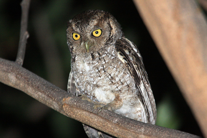 """...the pacificus race of West Peruvian Screech-Owl, one of five potential taxa of screech-owls that are possible on the tour. <div id=""""caption_tourlink"""" align=""""right""""><br>[photo © Richard Webster]</div>"""