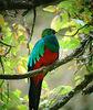 "Golden-headed Quetzal<div id=""caption_tourlink"" align=""right""> [photo © guide John Rowlett]</div>"