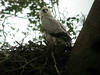 "Harpy Eagle chick at a nest near Infierno, Rio Tambopata<div id=""caption_tourlink"" align=""right""><br>[photo © Rose Ann Rowlett]</div>"