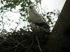 "Harpy Eagle chick at a nest near Infierno, Rio Tambopata<div id=""caption_tourlink"" align=""right""><br>[photo © Rose Ann Rowlett]</div>"