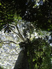 """Looking up into the canopy on the way to the TRC benches<div id=""""caption_tourlink"""" align=""""right""""><br>[photo © Rose Ann Rowlett]</div>"""