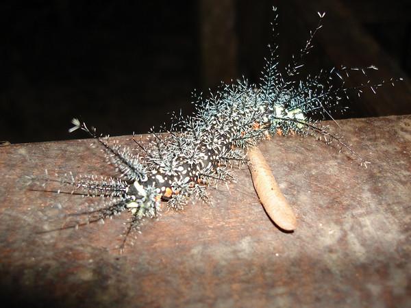 "Fuzzy caterpillar at Posada Amazonas<div id=""caption_tourlink"" align=""right""><br>[photo © Rose Ann Rowlett]</div>"