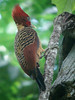"Rufous-headed Woodpecker, a scarce bamboo specialist, along the trail to Tres Chimbades<div id=""caption_tourlink"" align=""right""><br>[photo © Rose Ann Rowlett]</div>"