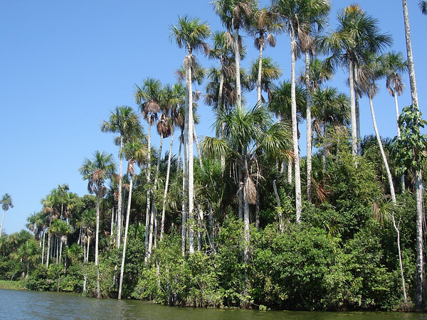 "Moriche palms along the border of Lago Sandoval<div id=""caption_tourlink"" align=""right""><br>[photo © Rose Ann Rowlett]</div>"