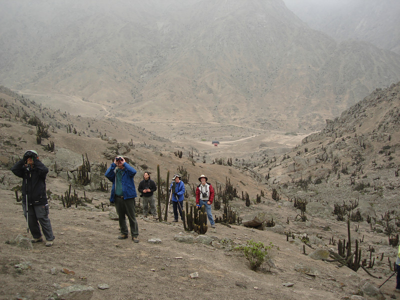 """Birding in the cactus desert at Lomas de Lachay north of Lima (after our flight to Puerto Maldonado was cancelled).  We flew to the rainforest the next day. <div id=""""caption_tourlink"""" align=""""right""""> [photo © guide Rose Ann Rowlett]</div>"""