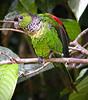 """Black-capped Parakeet <div id=""""caption_tourlink"""" align=""""right""""> [photo © guide John Rowlett]</div>"""