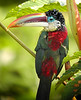 """... and here it is, the Curl-crested Aracari <div id=""""caption_tourlink"""" align=""""right""""> [photo © guide John Rowlett]</div>"""