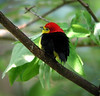 A brilliant gem in the forest understory: Wire-tailed Manakin. Photo by guide Bret Whitney.