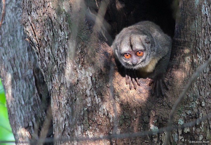Spix's Night Monkey is among the various mammal possibilities to complement our birding. Photo by Cameron Rutt.