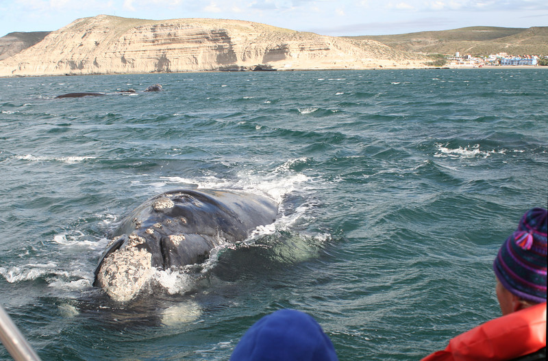 "Southern Right Whale <div id=""caption_tourlink"" align=""right""> [photo © guide George Armistead]</div>"